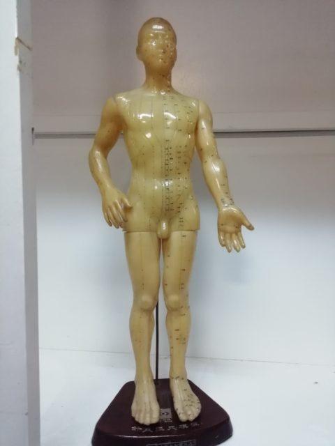 経穴 人体模型